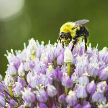 Photo of a bee pollinating
